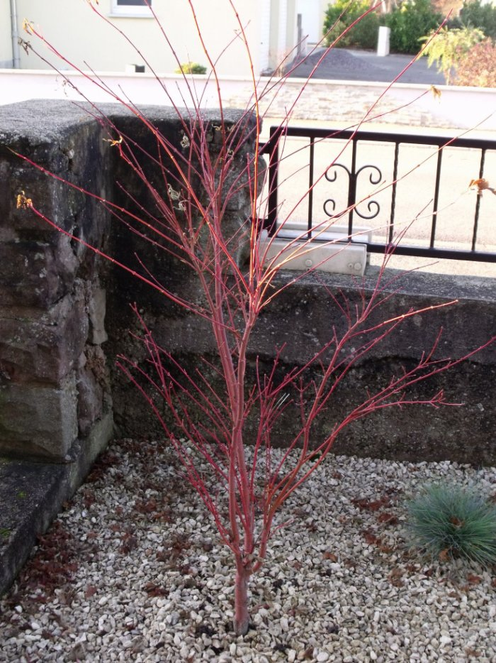 Taille de l 39 rable du japon au jardin forum de jardinage - Comment tailler un erable ...