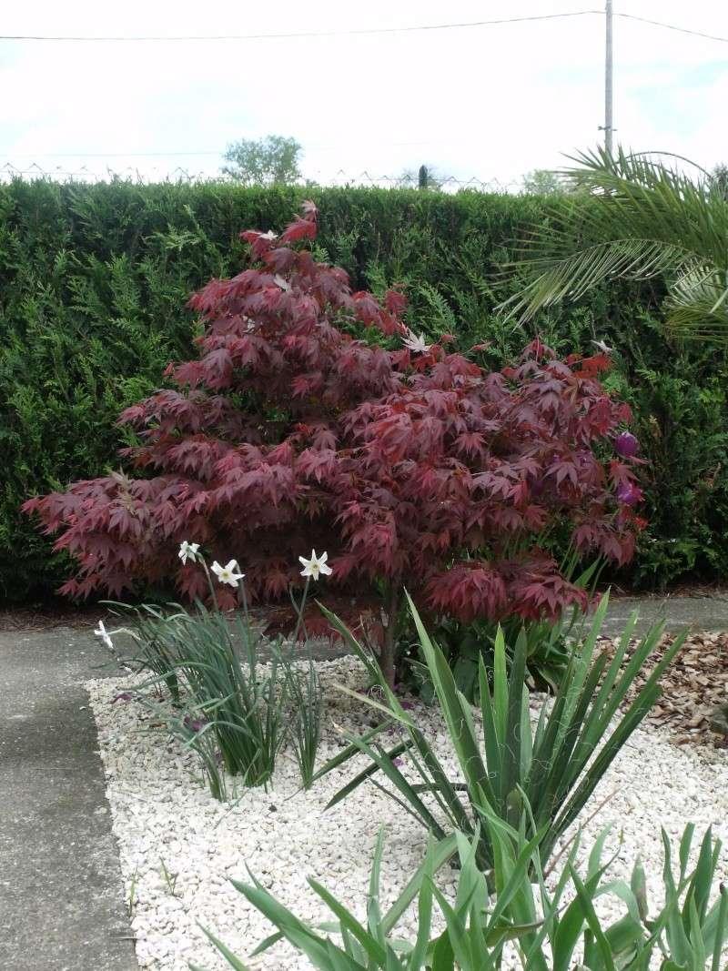 Taille de l 39 rable du japon au jardin forum de jardinage - Taille des rosiers periode ...