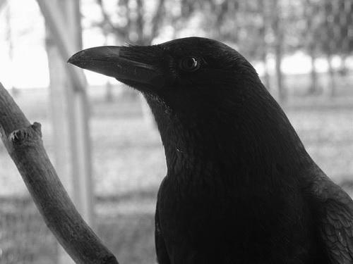Mon ami ailé dans Les Oiseaux Noirs dsc00417