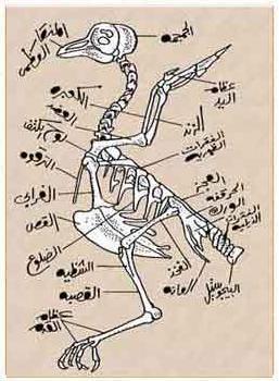 الهيكل العظمي للحمام