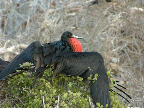 عالم الطيور - طائر الفرقاط - الطائر الجميل