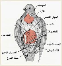 الجهاز العضلي للحمام