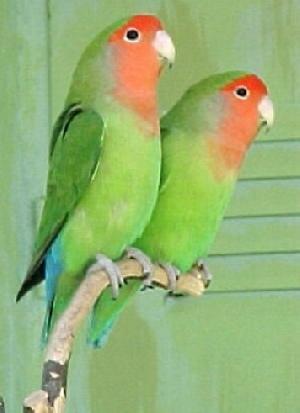 التزاوج عند الطيور