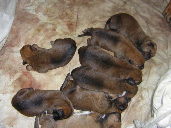 Dirty Monkey :: Donne chiots bauceron croisé dog argentin