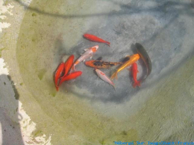 Mes bassins for Croisement carpe koi poisson rouge