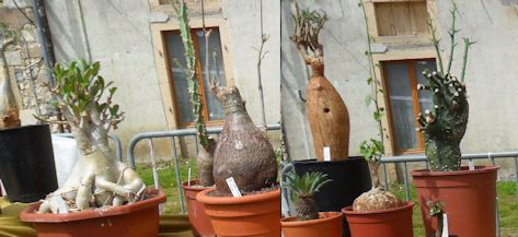 Brendel succulentes