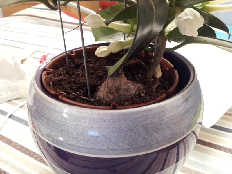 Rempoter mon jasmin de madagascar stephanotis floribunda for Plante jasmin interieur